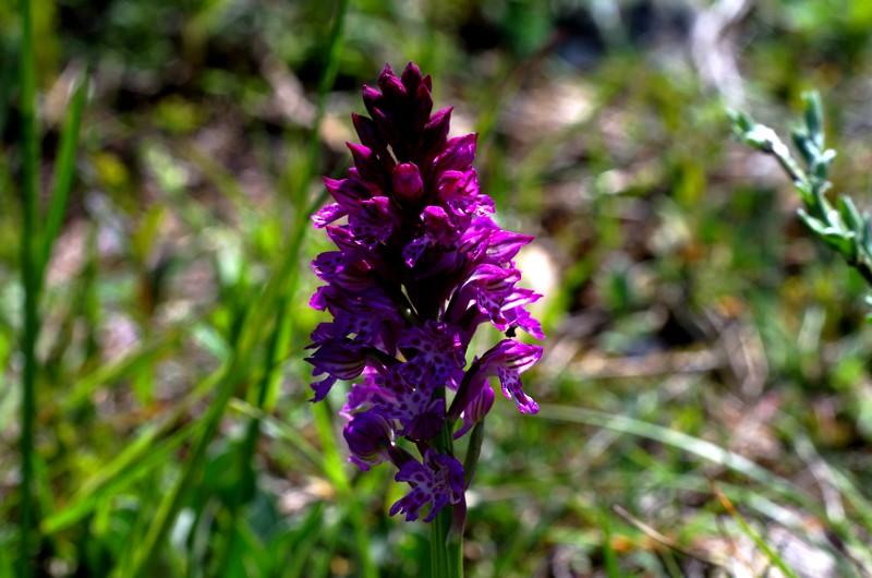 hybride Neottinea ustulata x Neotiinea tridentata Imgp3216