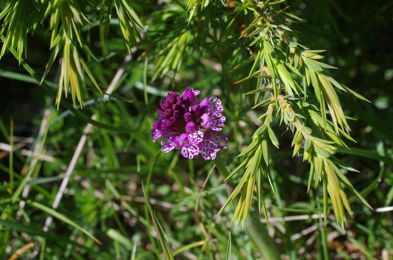hybride Neottinea ustulata x Neotiinea tridentata Imgp3218
