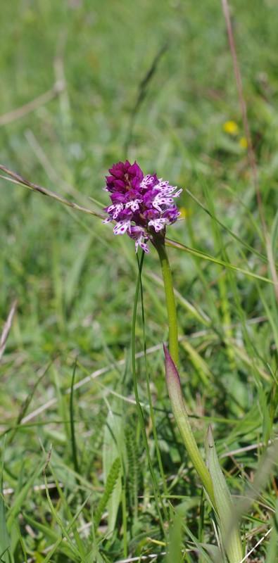 hybride Neottinea ustulata x Neotiinea tridentata Imgp3219