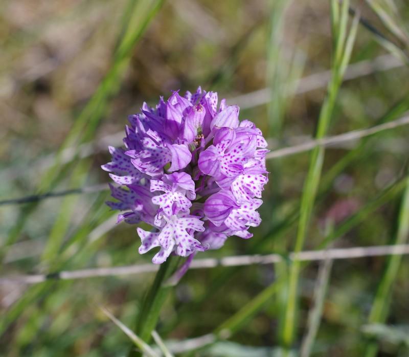 Neotiinea tridentata Imgp3311
