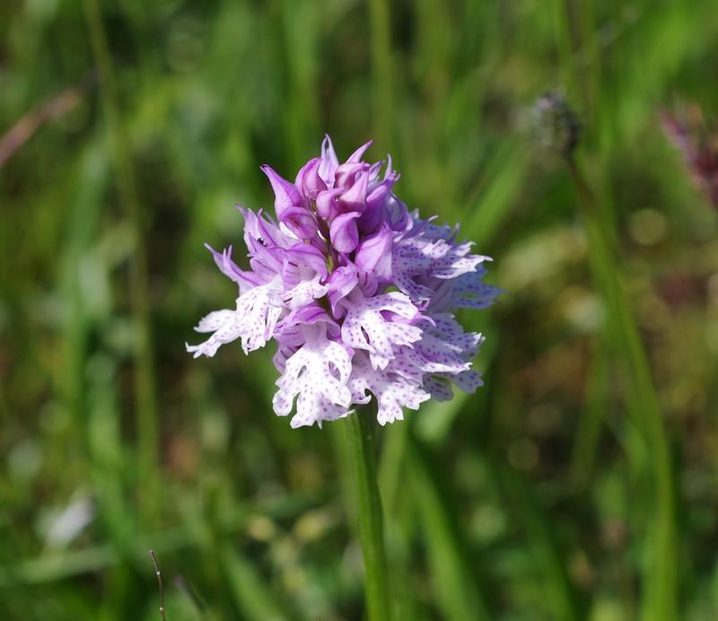 Neotiinea tridentata Imgp3313