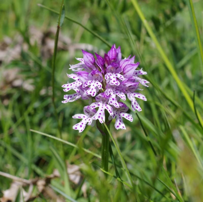 Neotiinea tridentata Imgp3315