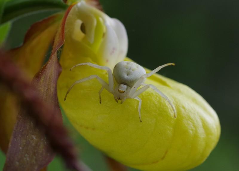 Neottinea ustulata Imgp3610