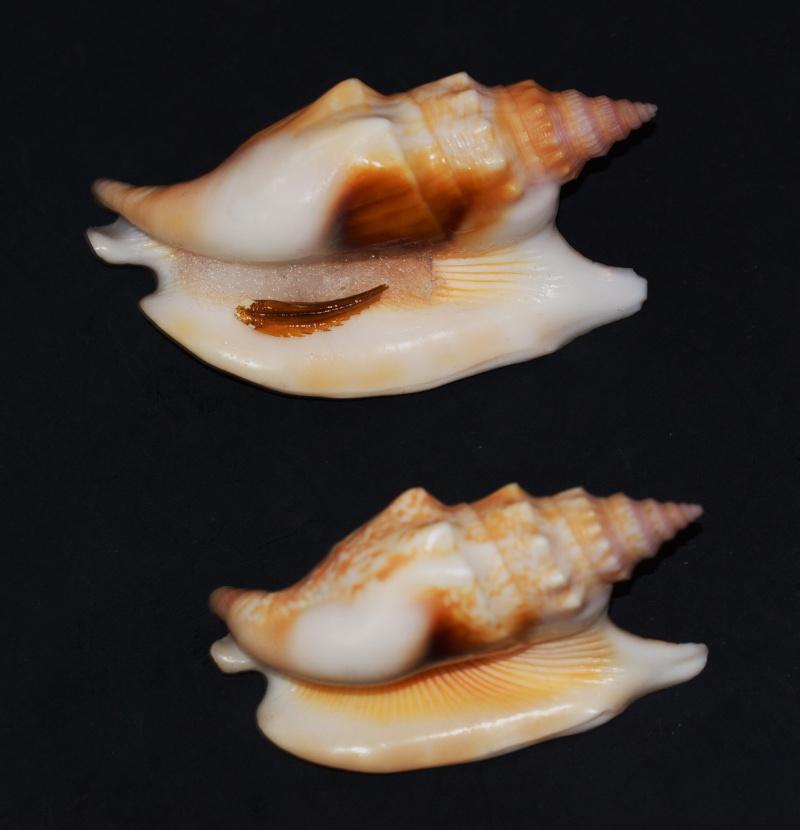 Euprotomus hawaiensis - (Pilsbry, 1917) Stro10