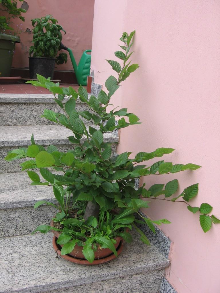 wip carpinus betulus (aggiornamento a pagina 2) 00110