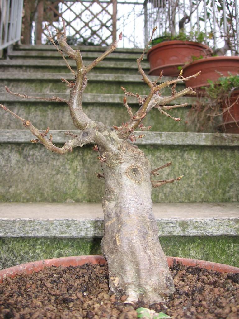 wip carpinus betulus (aggiornamento a pagina 2) 00111