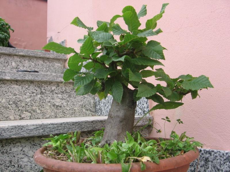wip carpinus betulus (aggiornamento a pagina 2) 00410