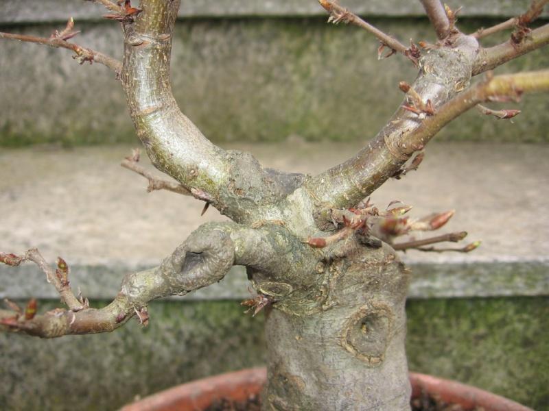 wip carpinus betulus (aggiornamento a pagina 2) 00411
