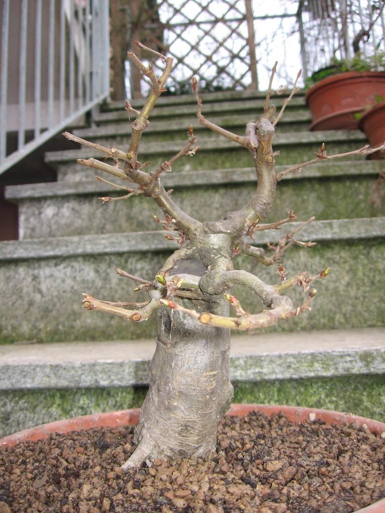 wip carpinus betulus (aggiornamento a pagina 2) 00611