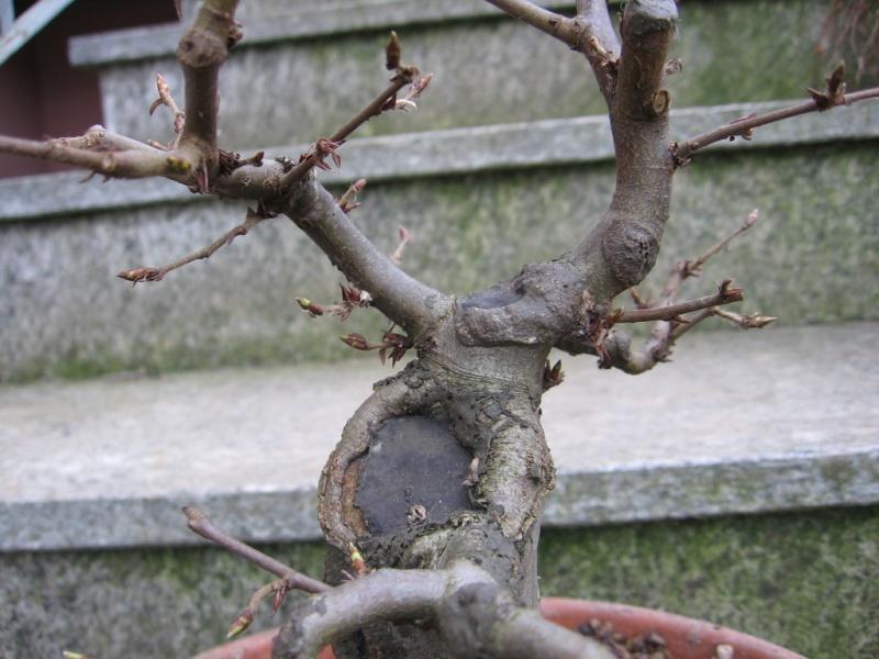 wip carpinus betulus (aggiornamento a pagina 2) 00710