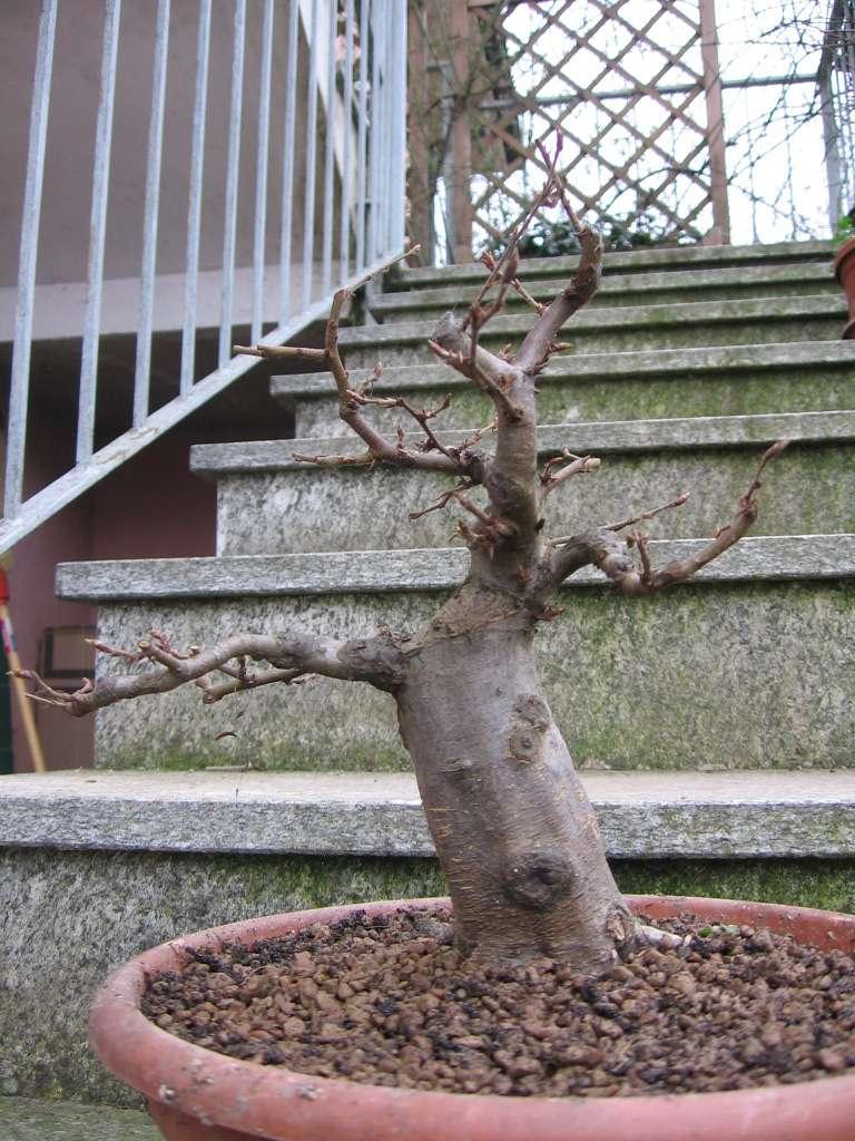wip carpinus betulus (aggiornamento a pagina 2) 00810