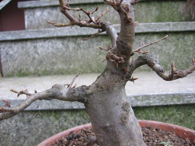 wip carpinus betulus (aggiornamento a pagina 2) 01011