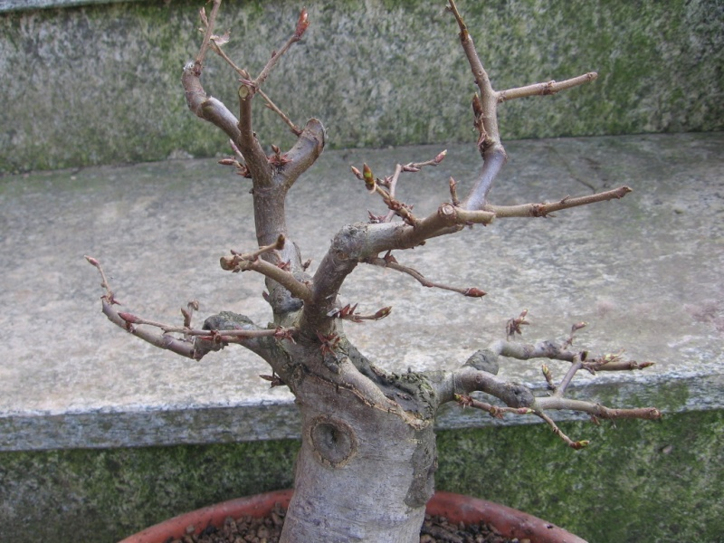 wip carpinus betulus (aggiornamento a pagina 2) 01110