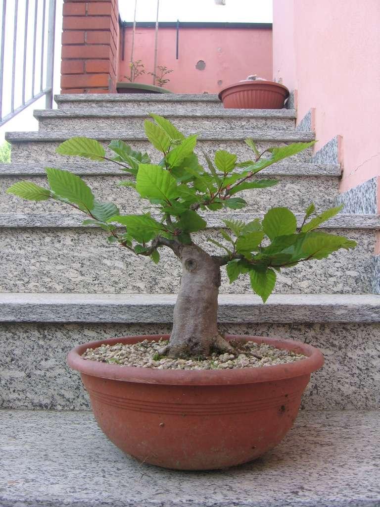 wip carpinus betulus (aggiornamento a pagina 2) 29xvw110