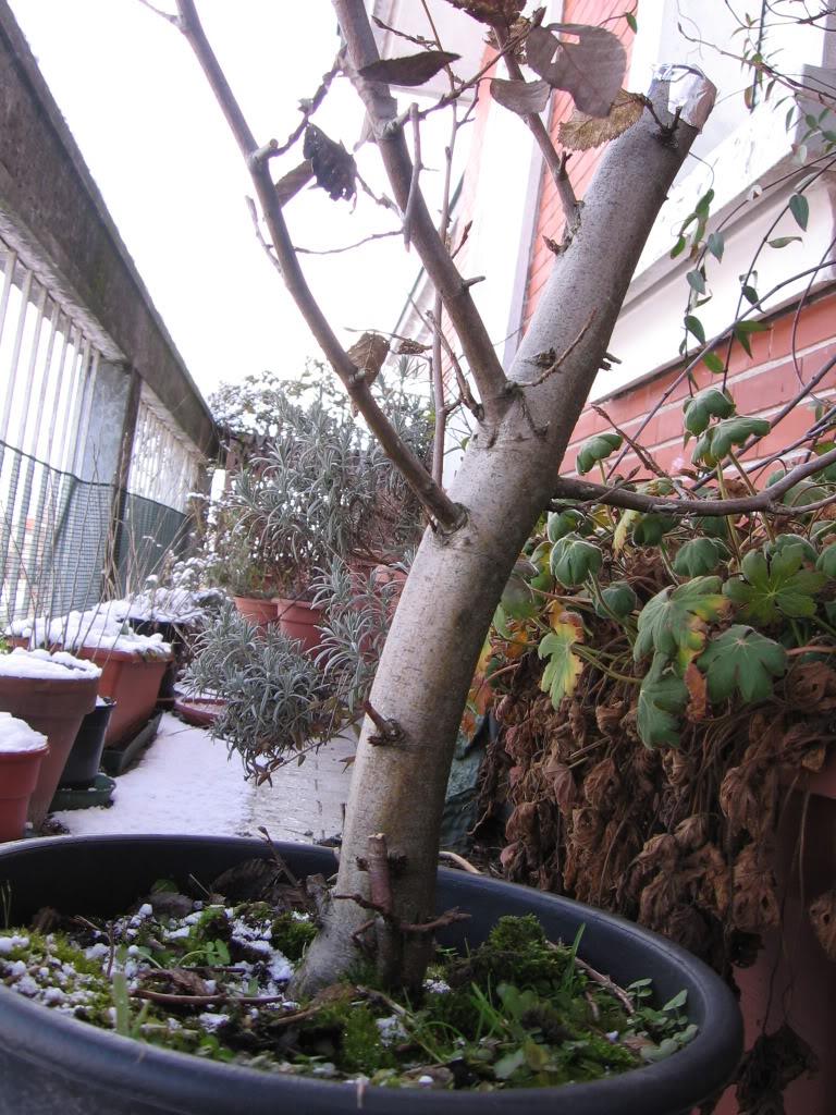 wip carpinus betulus (aggiornamento a pagina 2) Img_0010