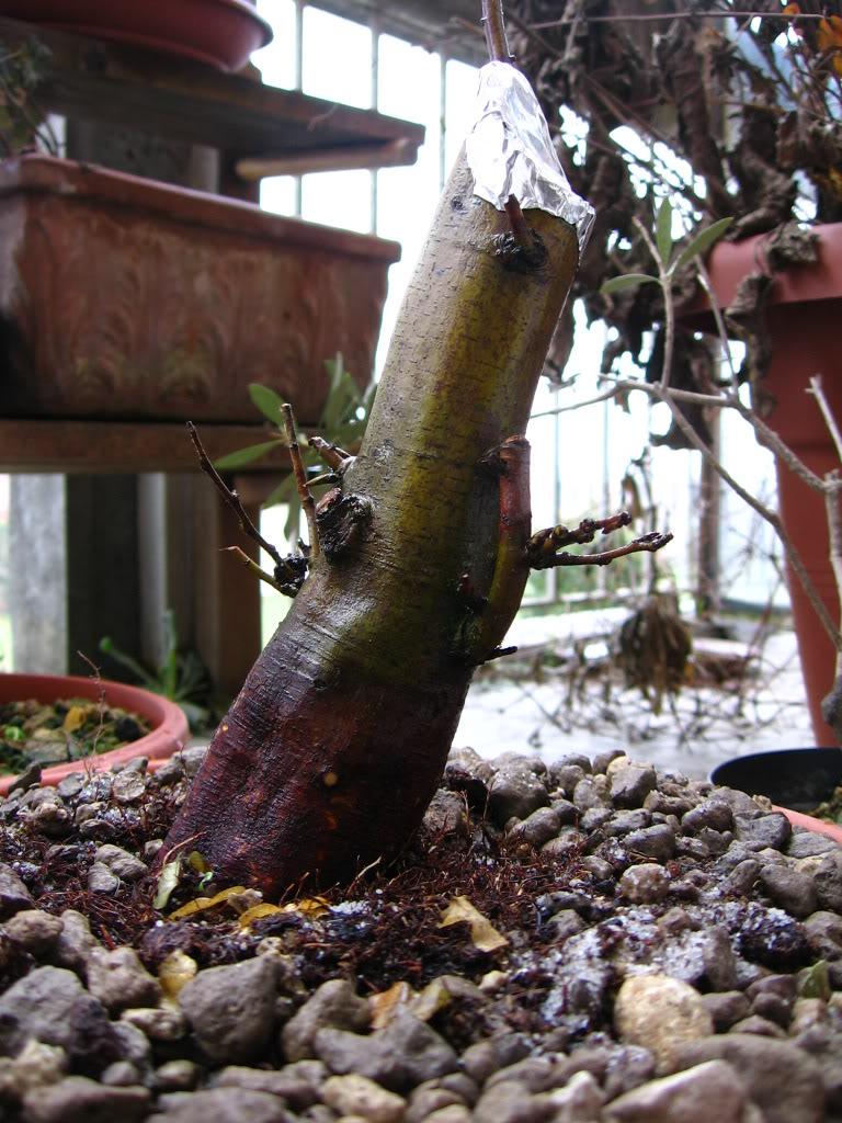 wip carpinus betulus (aggiornamento a pagina 2) Img_0011