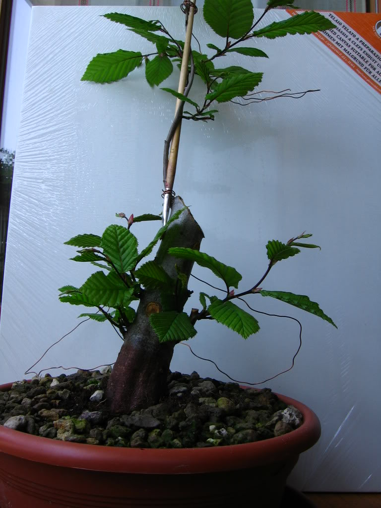 wip carpinus betulus (aggiornamento a pagina 2) Img_0013