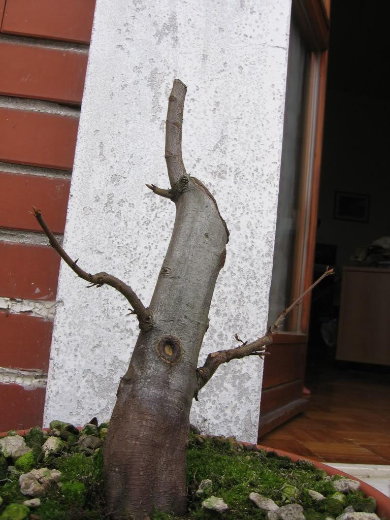 wip carpinus betulus (aggiornamento a pagina 2) Immagi10