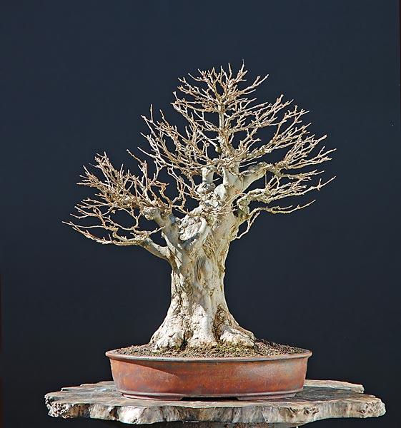 wip carpinus betulus (aggiornamento a pagina 2) Wp110