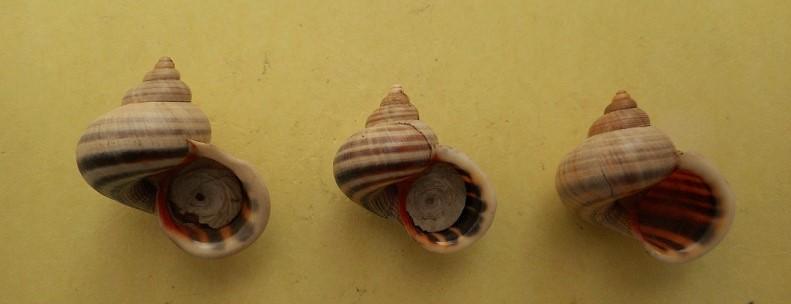 Tropidophora sp ? Dscn7210