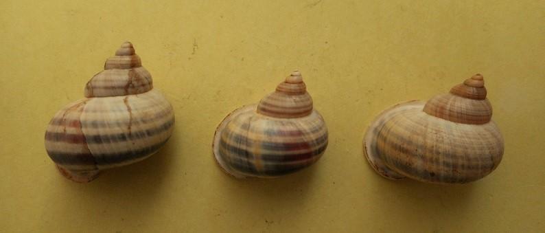 Tropidophora sp ? Dscn7211