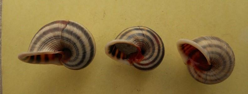 Tropidophora sp ? Dscn7213