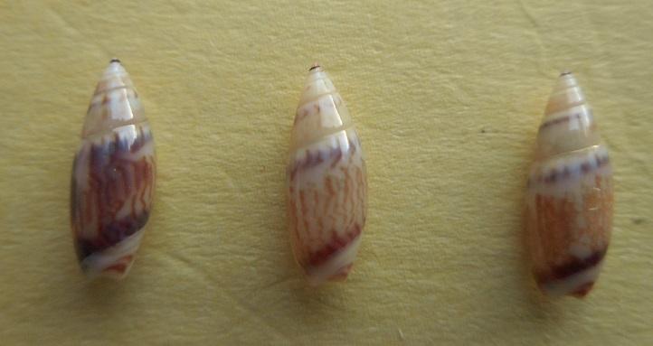 Olivella dealbata - (Reeve, 1850)  voir Dactylidia mica (Duclos, 1835) Dscn7423