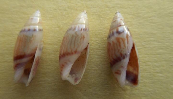 Olivella dealbata - (Reeve, 1850)  voir Dactylidia mica (Duclos, 1835) Dscn7424