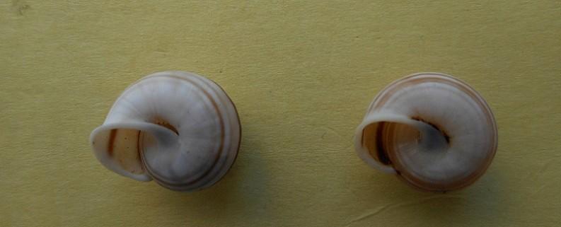 Rhagada solorensis solorensis (Von Marten's, 1863) Dscn7426