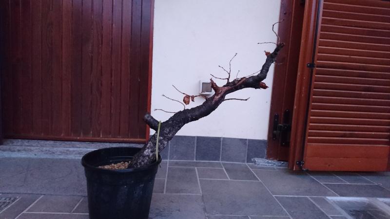 Prunus Mahaleb Pr110