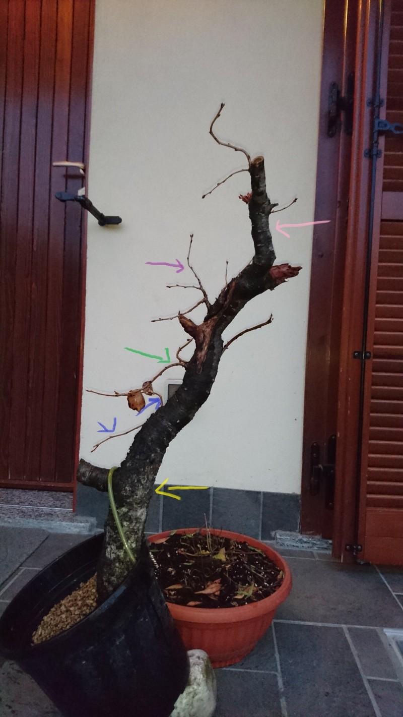 Prunus Mahaleb Pr2_co10