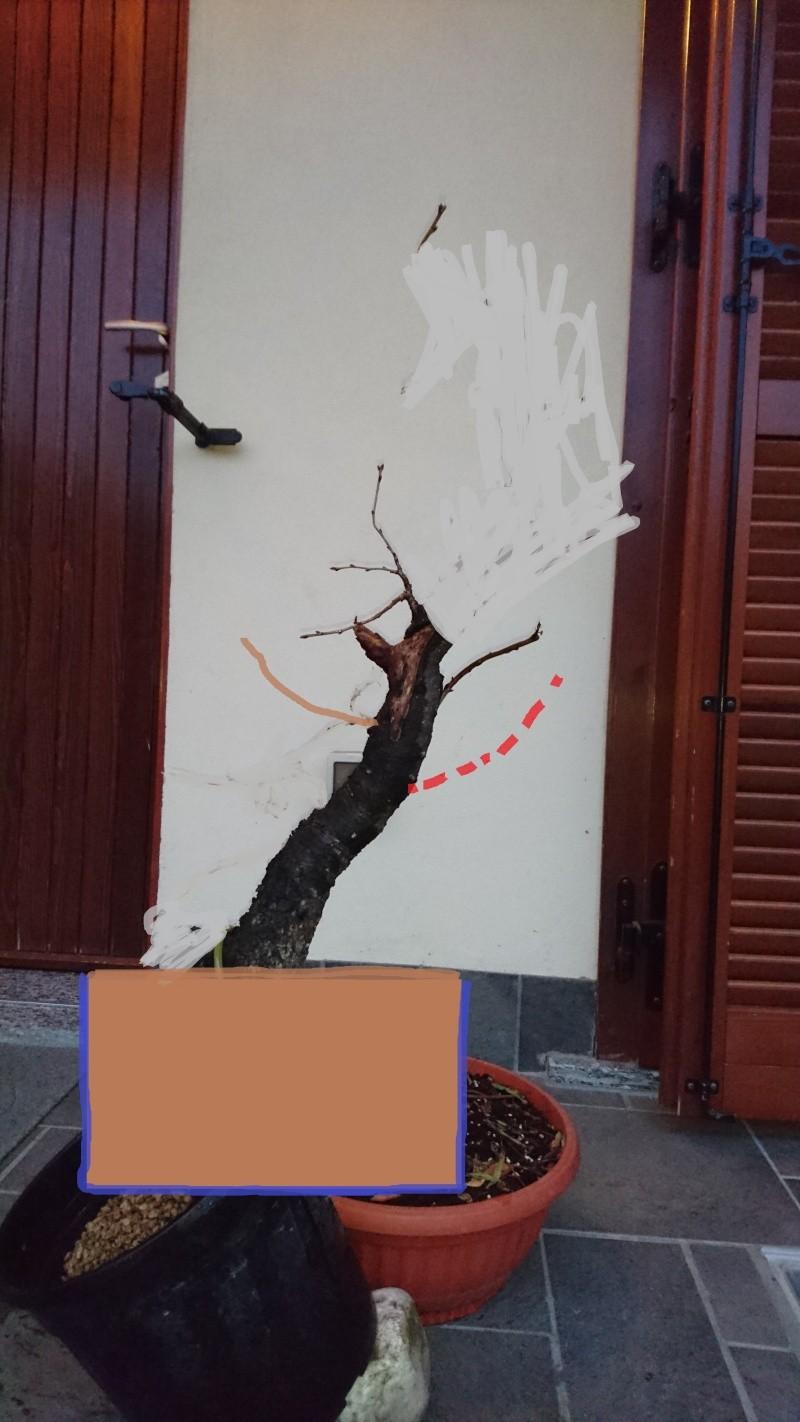 Prunus Mahaleb Pr2_co12