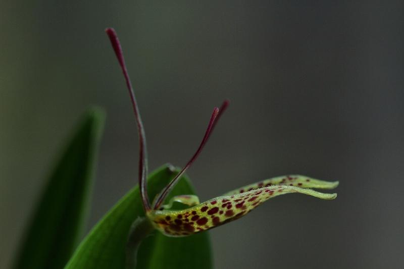 Miniatur-Orchideen Teil 3 - Seite 4 Img_0819