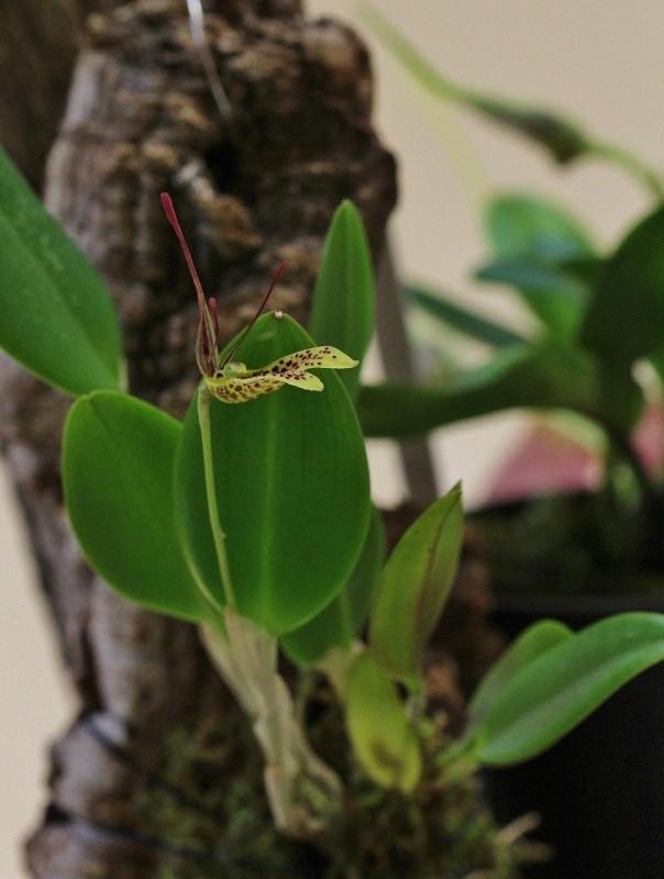 Miniatur-Orchideen Teil 3 - Seite 4 Img_0821