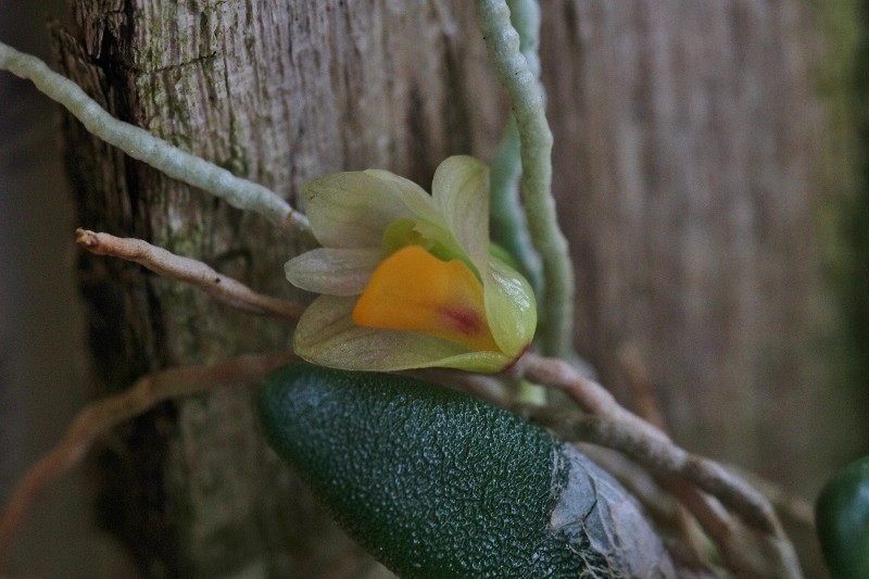 Miniatur-Orchideen Teil 3 - Seite 4 Img_0823