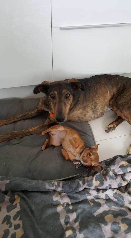 CHATITA, galga brun foncé, 2 ans 1/2  Adoptée Chatit10