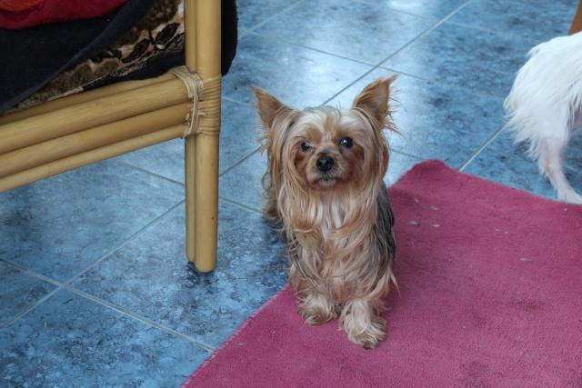 EDEN, jolie yorkinette de 6 ans, réformée d'élevage Img_2213