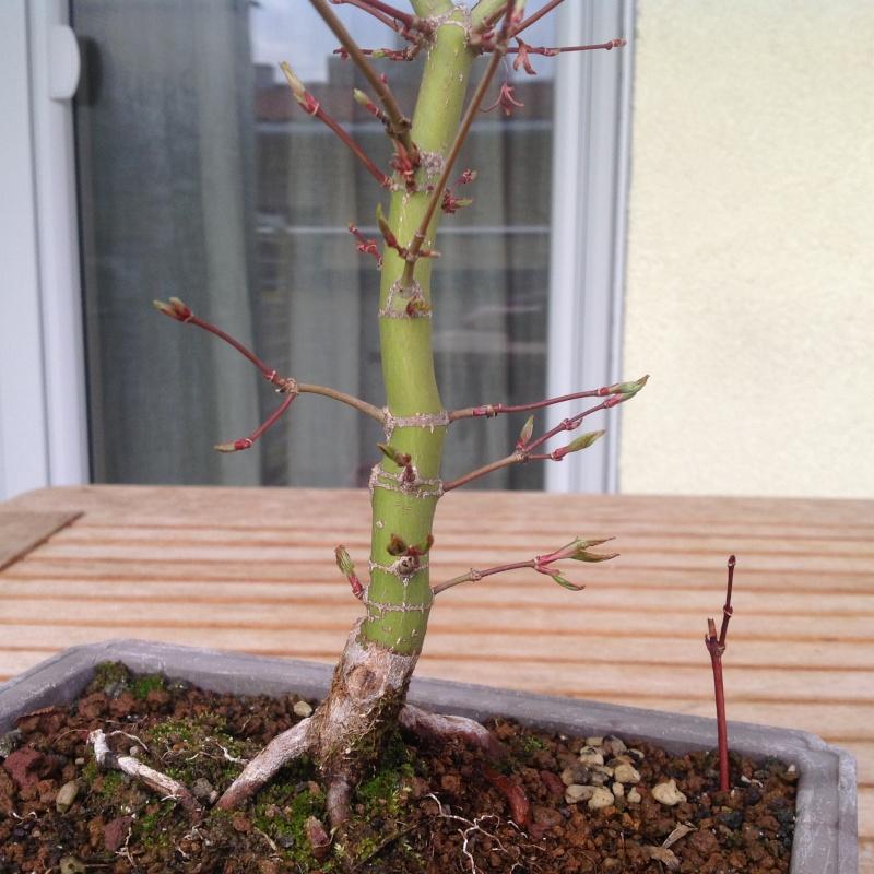 Acero palmato - Pagina 3 Image18