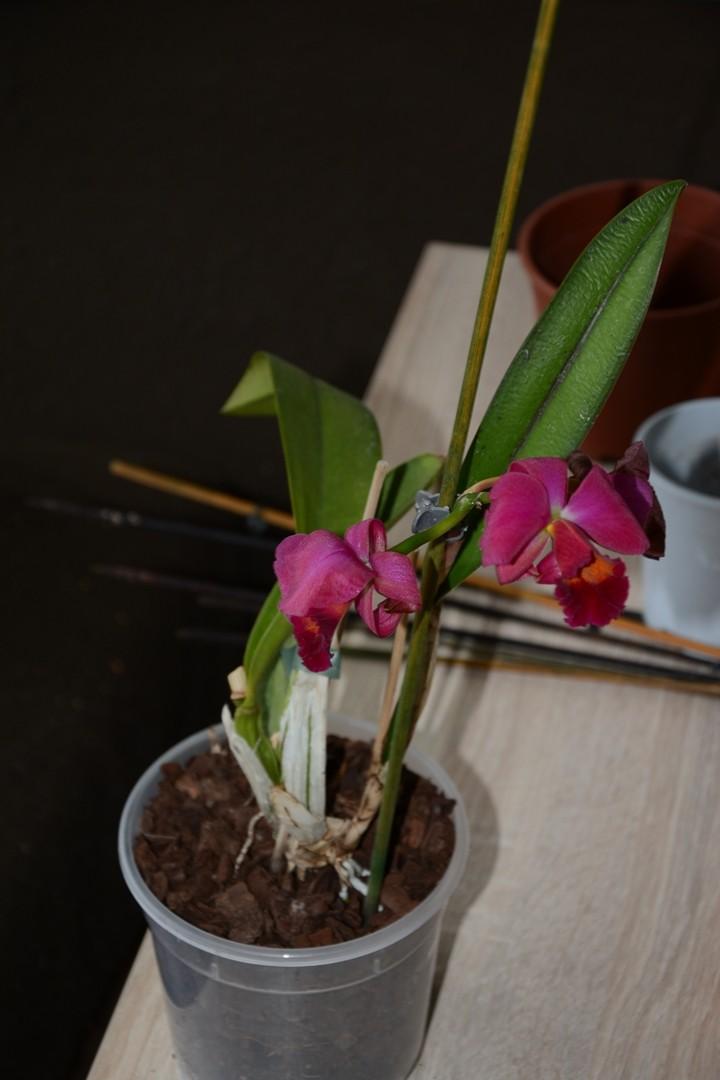 Welche Orchidee ist das? Dsc_7411