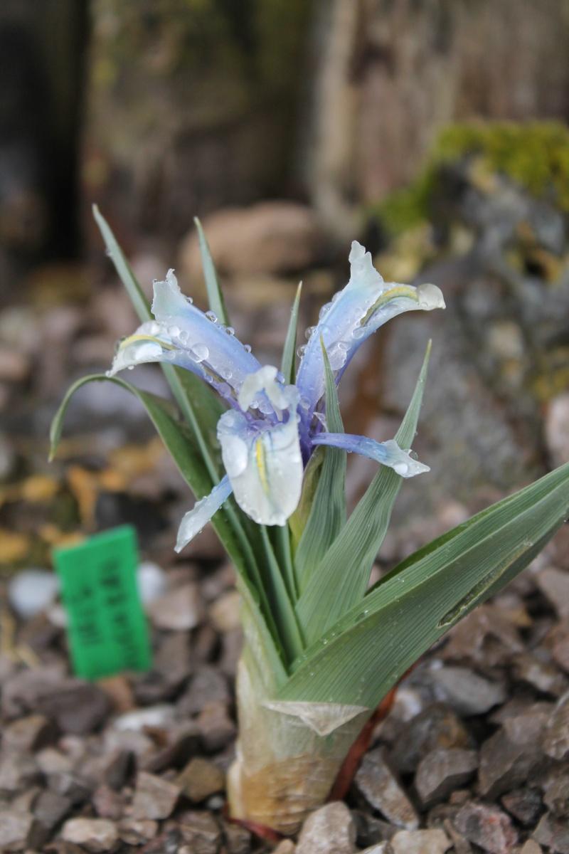 Iris aucheri Img_0811