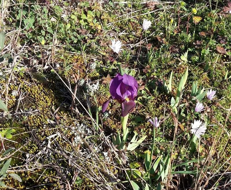 Iris lutescens Endre-11
