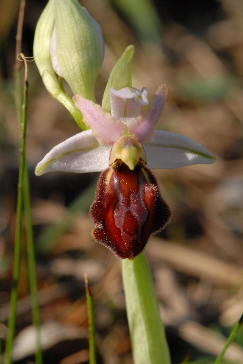Ophrys exaltata arachnitiformis ( O. en forme d'araignée ) Dsc_0012