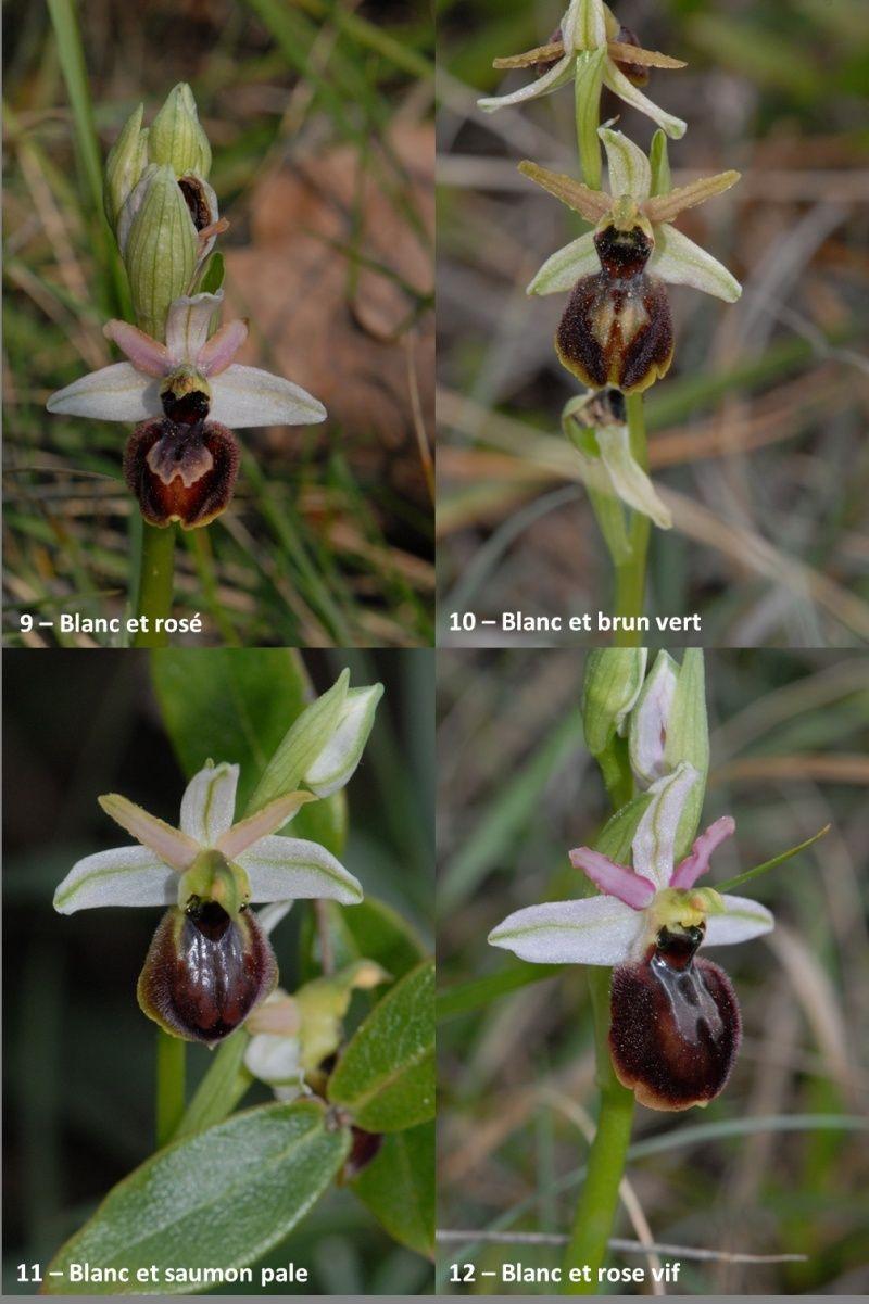 Ophrys exaltata arachnitiformis ( O. en forme d'araignée ) Image110