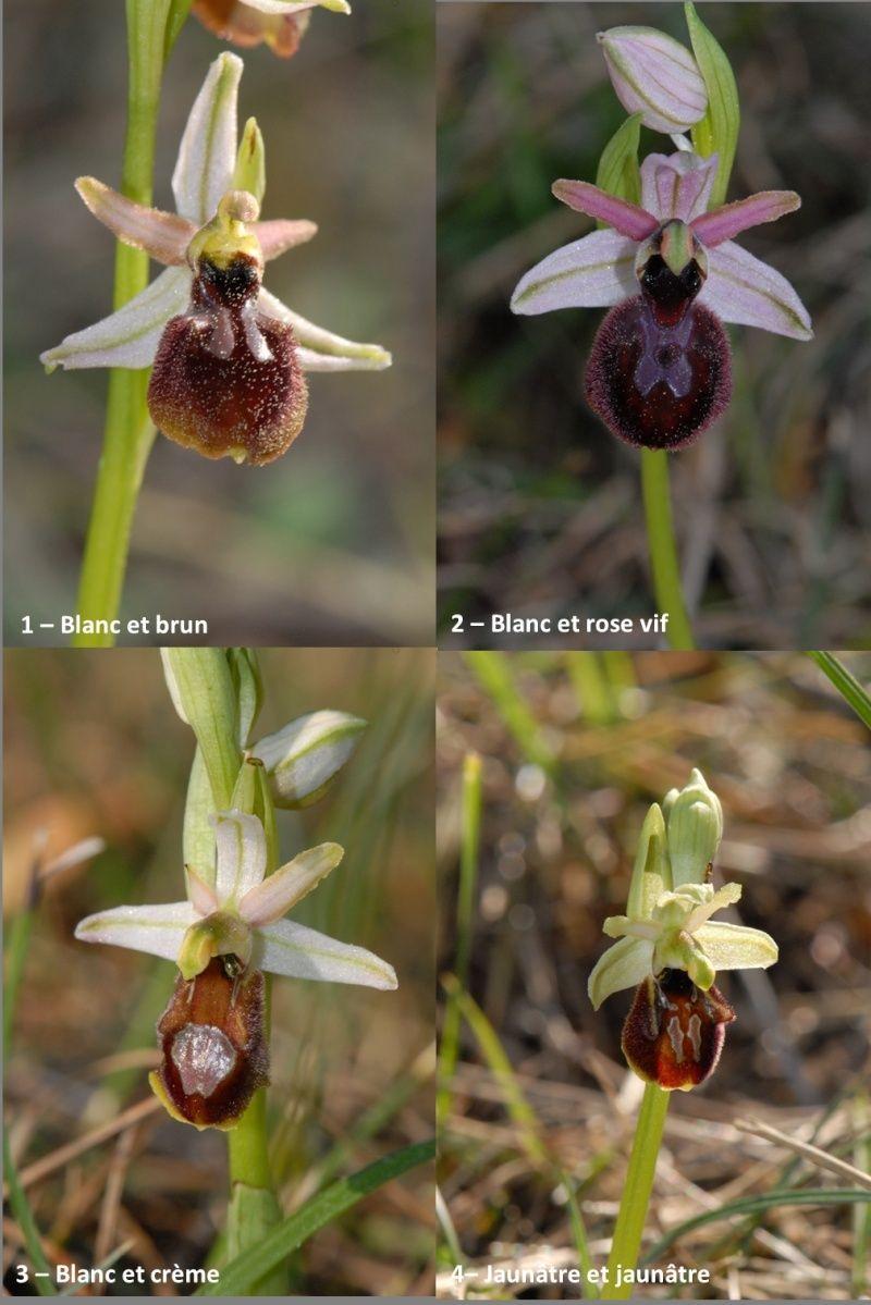 Ophrys exaltata arachnitiformis ( O. en forme d'araignée ) Image111