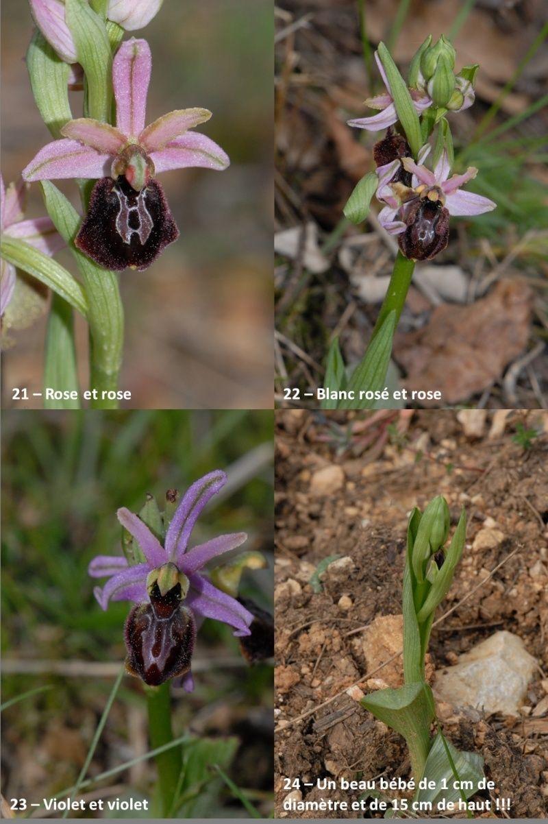 Ophrys exaltata arachnitiformis ( O. en forme d'araignée ) Image113
