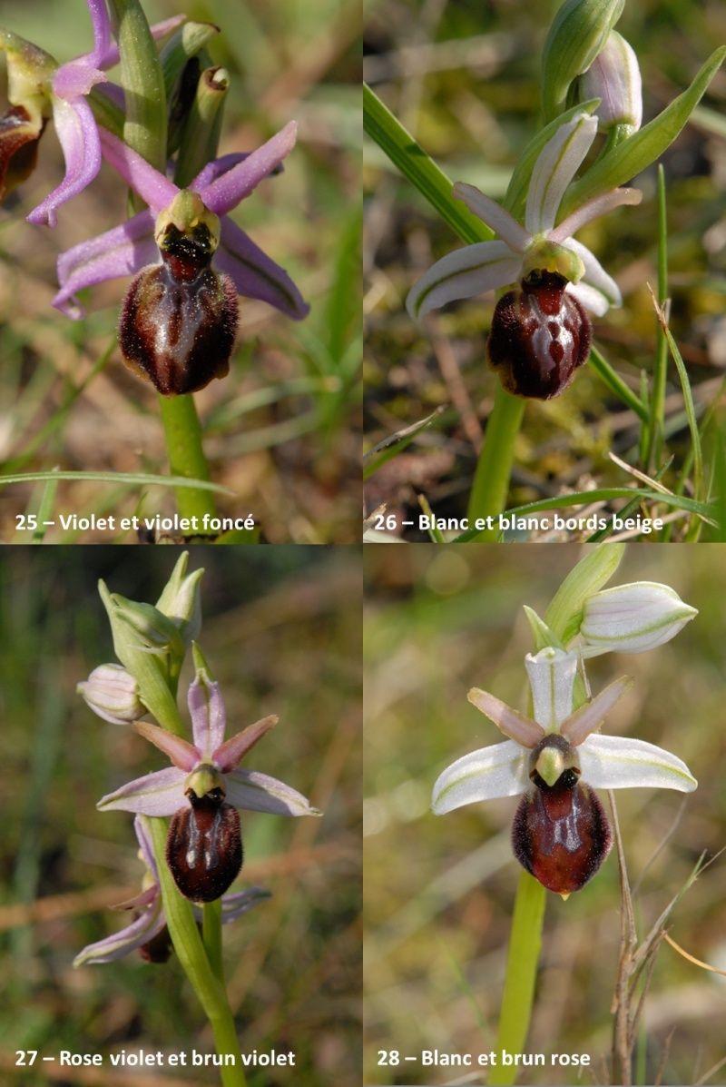 Ophrys exaltata arachnitiformis ( O. en forme d'araignée ) Image114