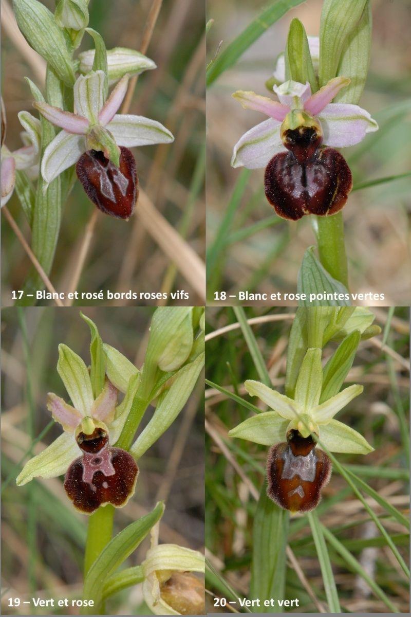 Ophrys exaltata arachnitiformis ( O. en forme d'araignée ) Image119