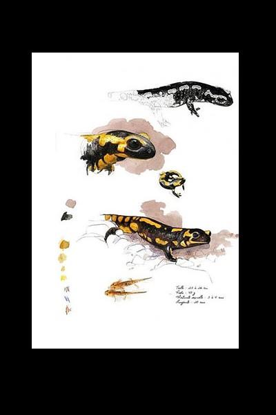 Reptiles et batraciens de Bretagne Sans_259