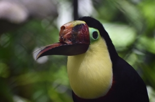 Cruauté animale : le toucan fétiche du Costa Rica a bénéficié d'une prothèse Toucan10