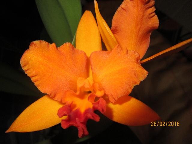 Cattleya Hybride Img_0111